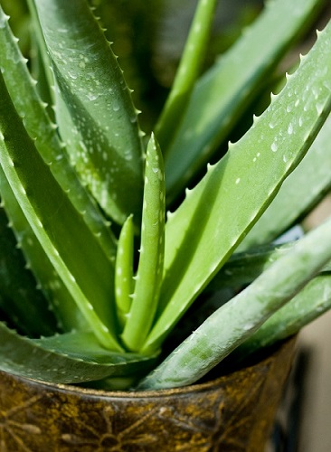 Aloe - veggiefrog