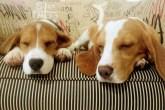 como-adotar-um-beagle-resgatado-instituto-royal
