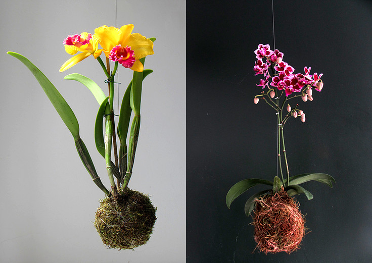 kokedama-orquidea-brinco-de-princesa