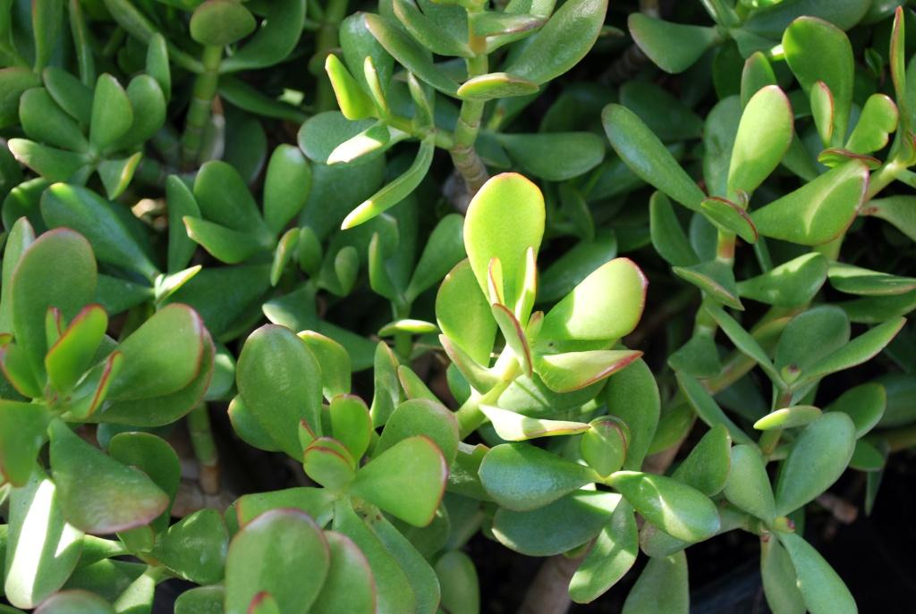 Planta de jade, mini suculenta para se ter em casa