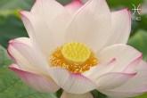 flor-dos-signos-flor-de-lotus-peixes