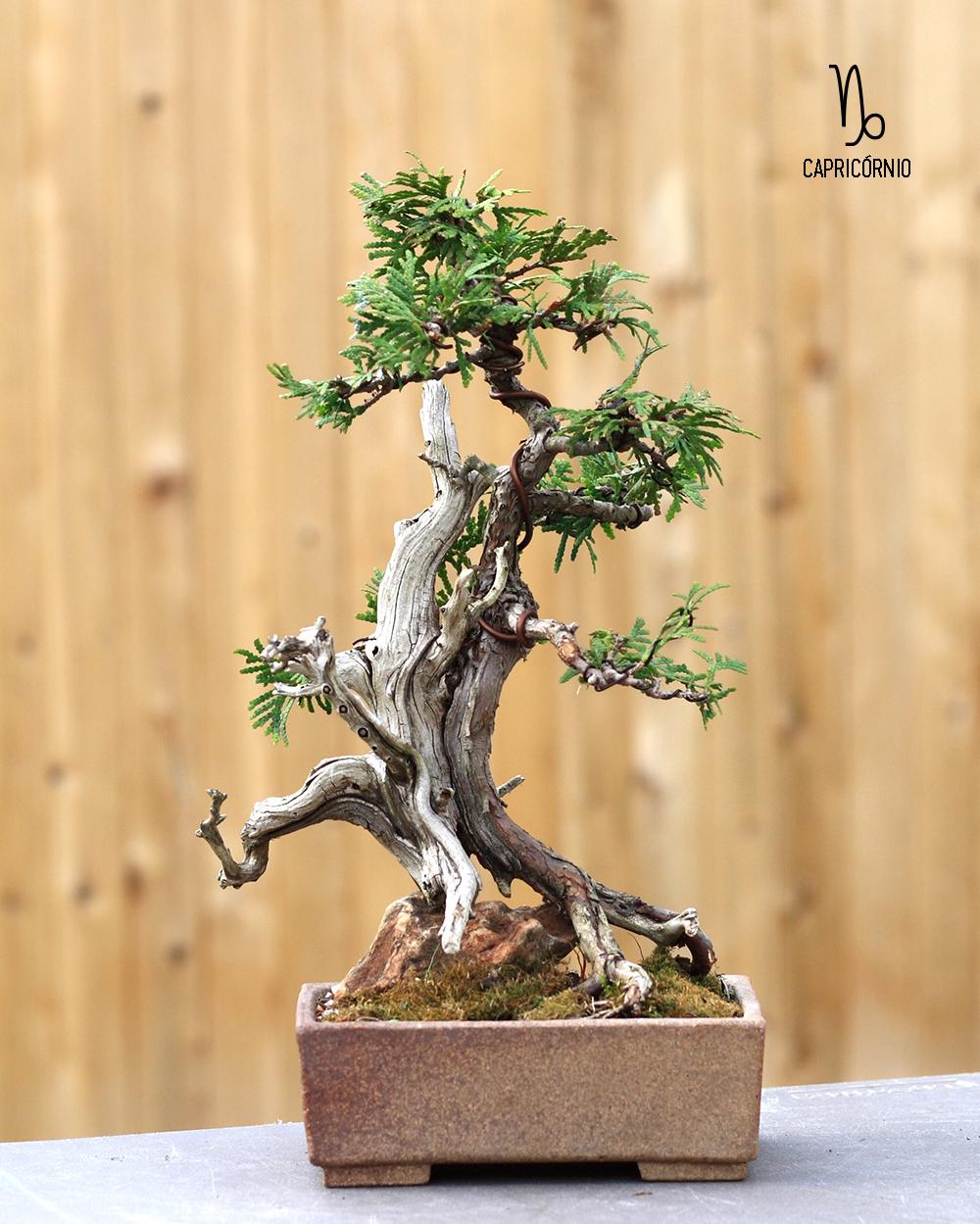 planta-de-capricornio-bonsai