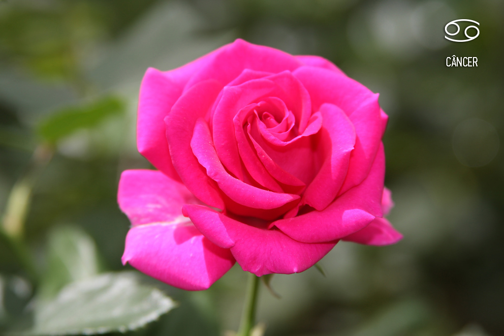 planta-dos-signos-cancer-rosa