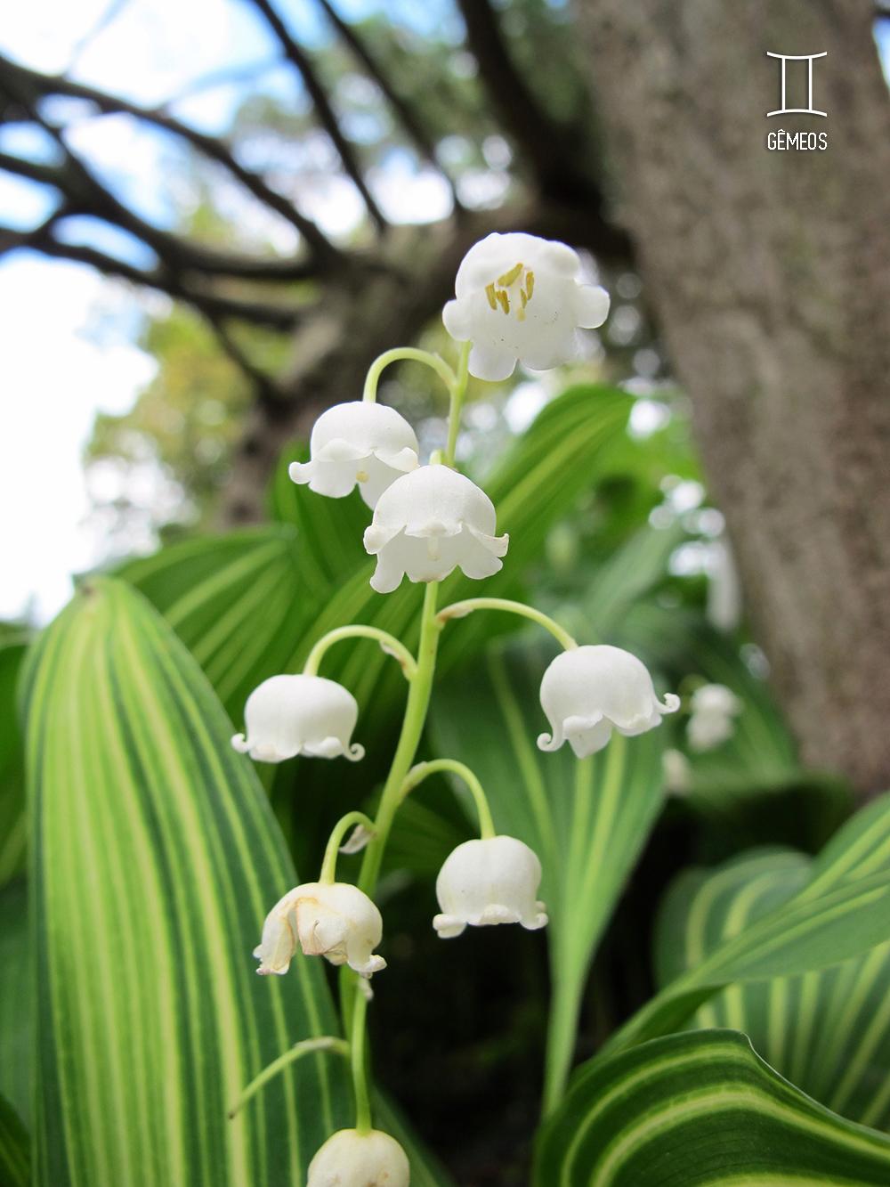 planta-dos-signos-lirio-do-vale-gemeos
