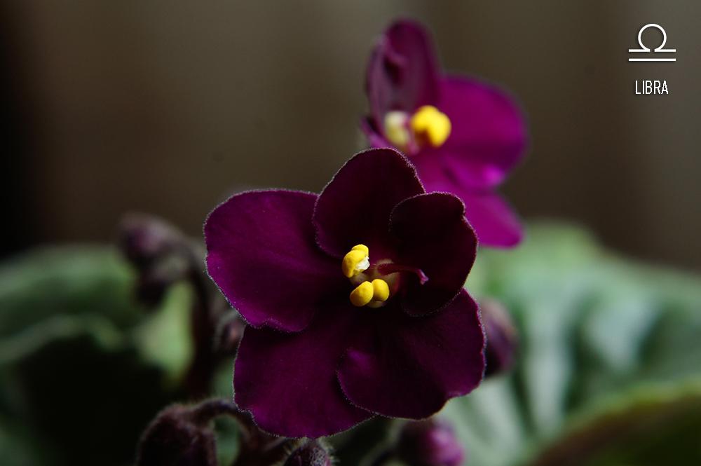 planta-dos-signos-violeta-africana-libra