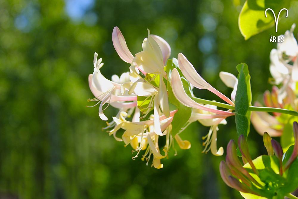 plantas-dos-signos-flor-aries-lonicera