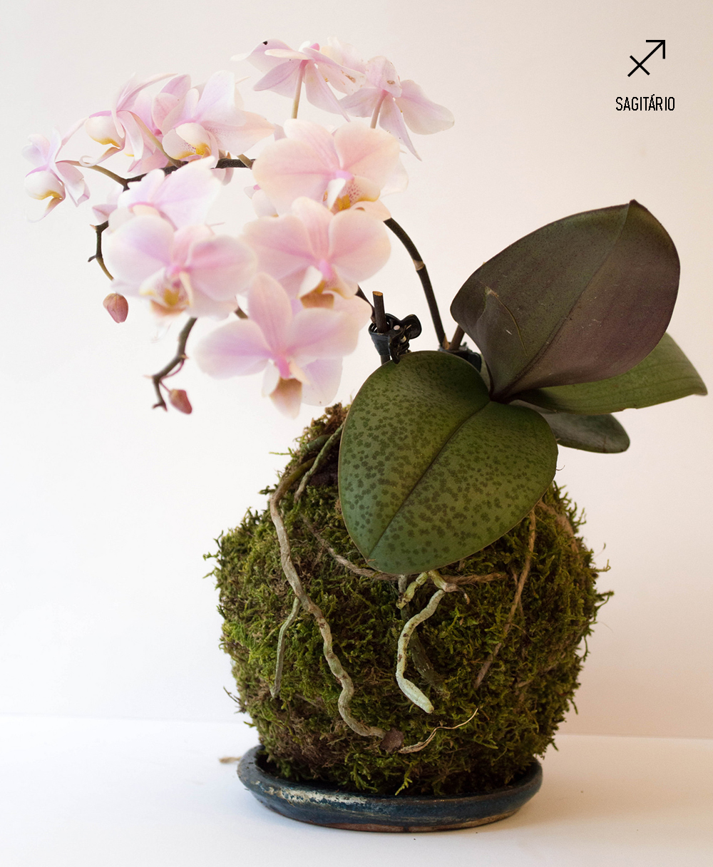 plantas-dos-signos-kokedama-de-orquidea-aquario
