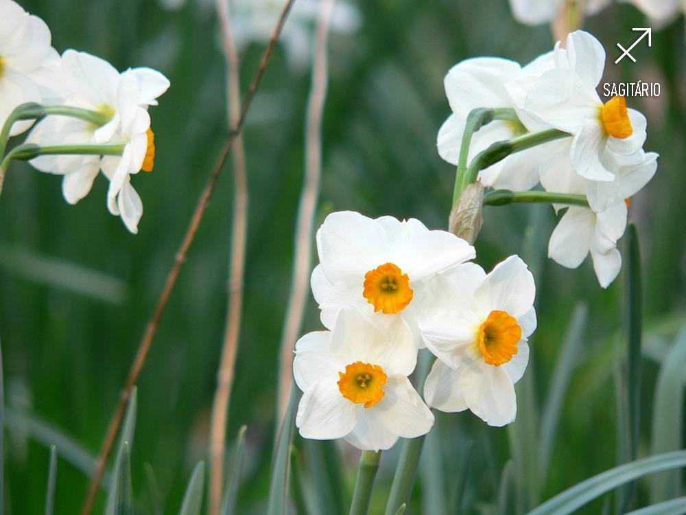 plantas-dos-signos-narciso-sagitario