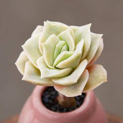 Suculenta em detalhe. Folhas formam padrão que parece uma rosa