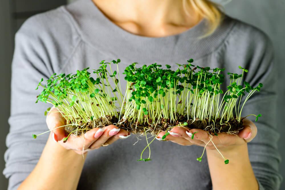 Mãos segurando microverdes ainda com substrato embaixo