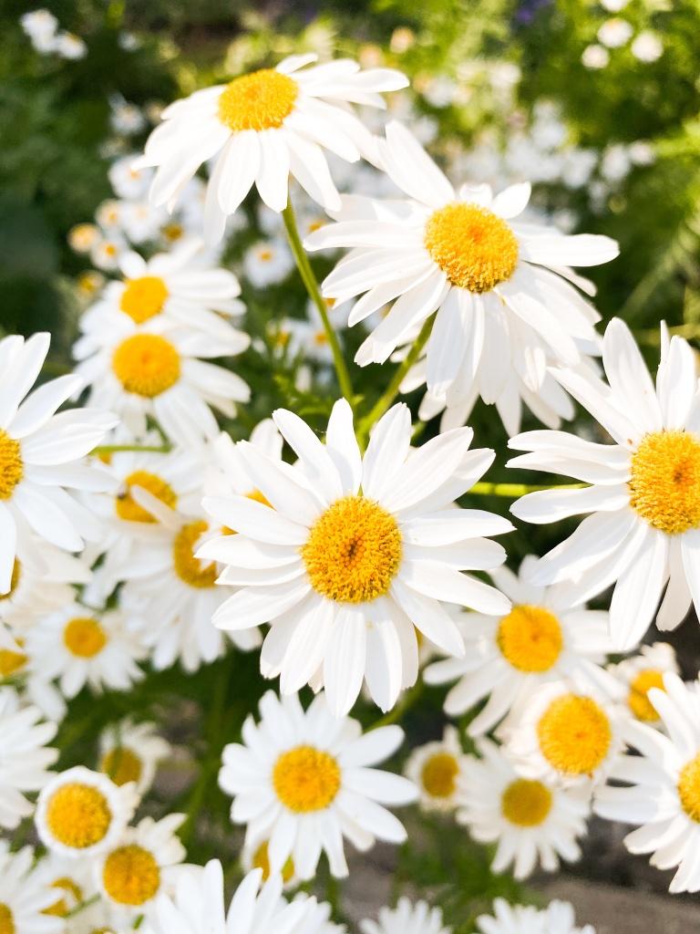 flores do tipo margarida