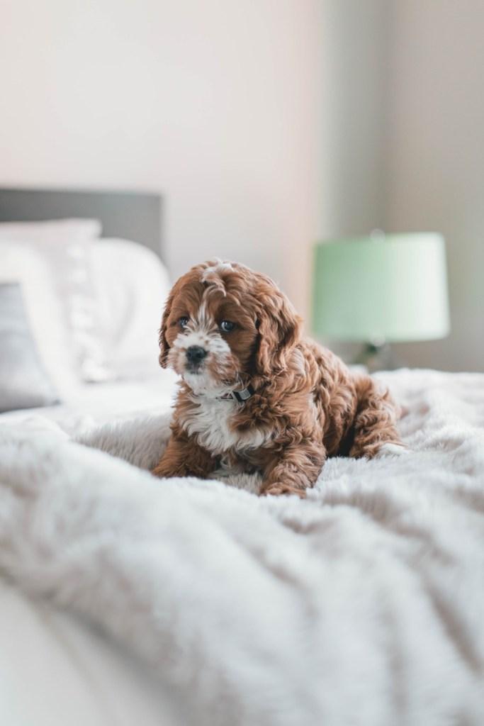 Cachorro sobre colchão