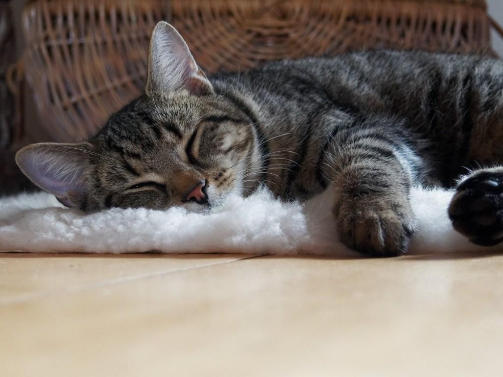 Gato rajado dormindo sobre um tapete peludo branco