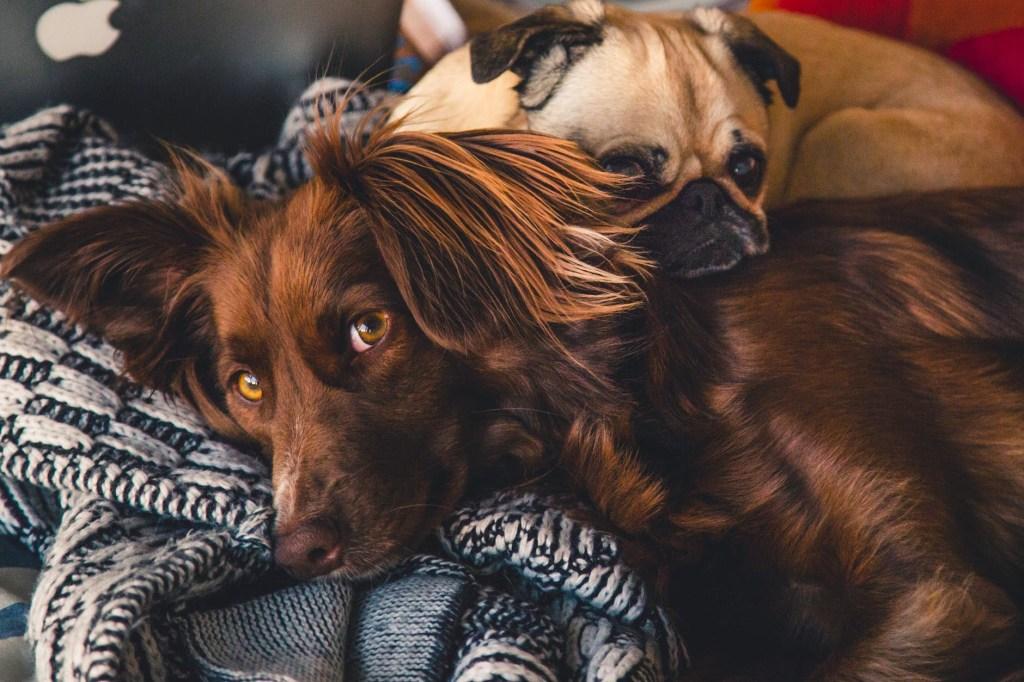 Cachorro marrom com pelo longo deitado sobre uma manta preto e branco olhando para a câmera com um pug deitado sobre o cachorro marrom