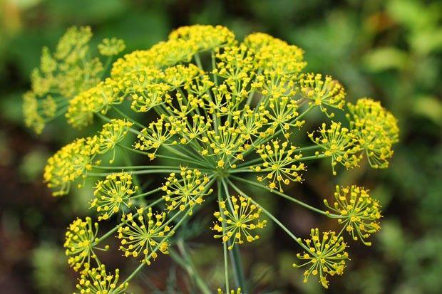 Flor de erva doce amarela
