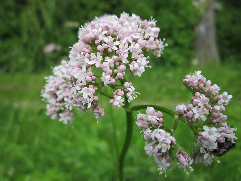 Flor rosa clara de valeriana