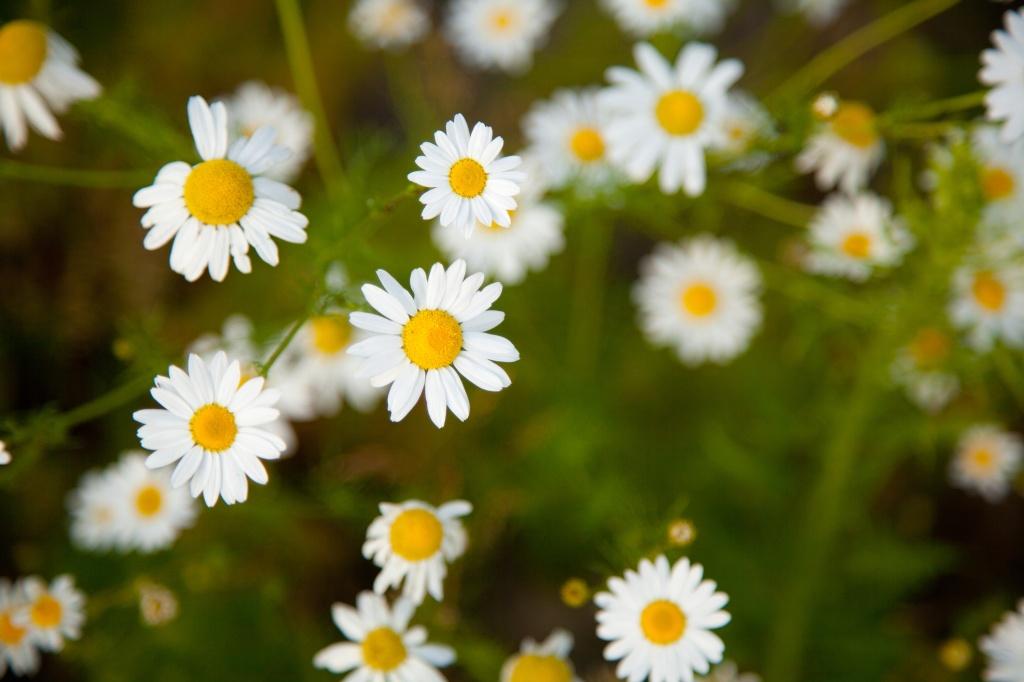 Flores de camomila brancas pequenas com miolo amarelo