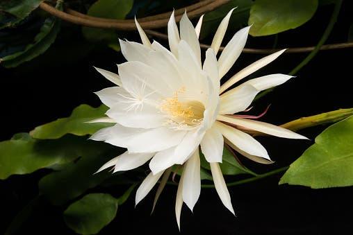 Flor Dama da Noite em detalhe. Flor branca com duas corolas de pétalas sobrepostas.