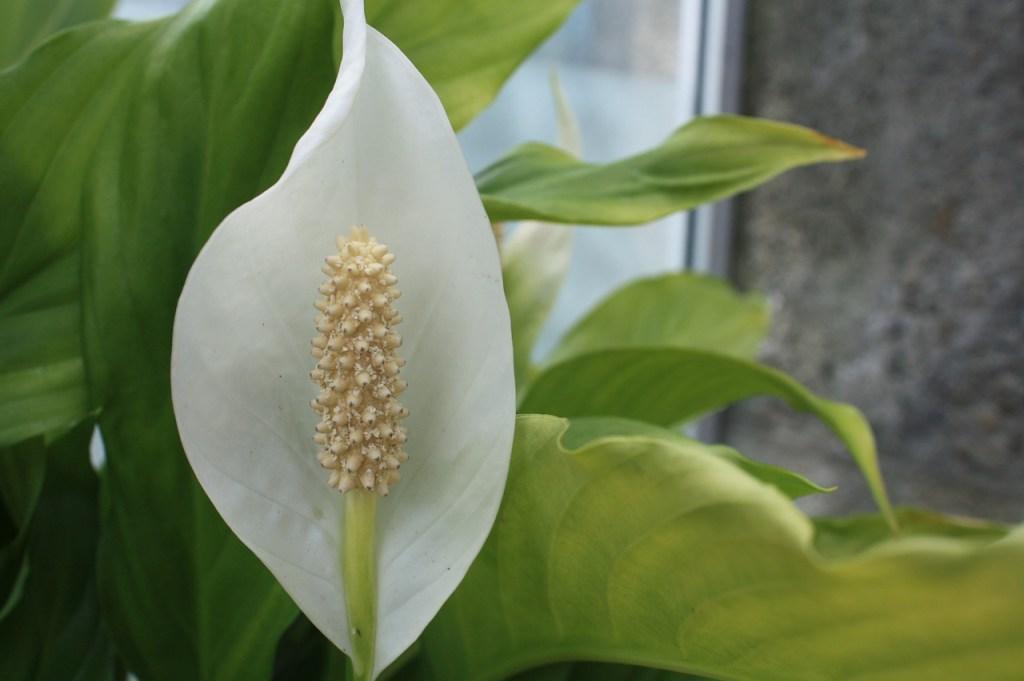 Flor Lírio da Paz em detalhe. Flor branca com centro comprido e amarelado