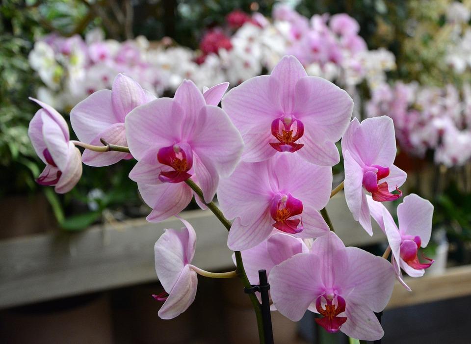 Orquídea branca e rosa florida.