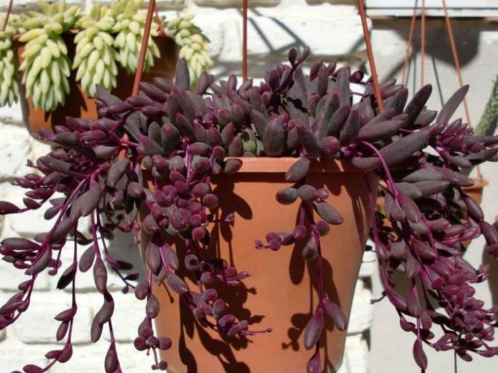 Suculenta colar de rubi em vaso de barro