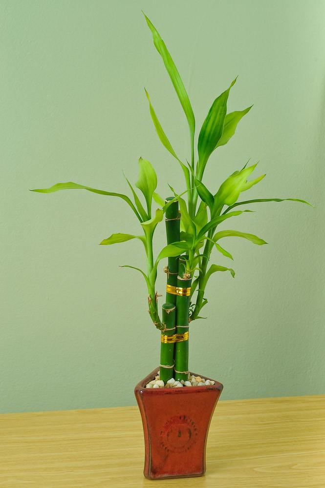 Bambu da sorte amarrado com fitas douradas em mesa de madeira e parede verde ao fundo