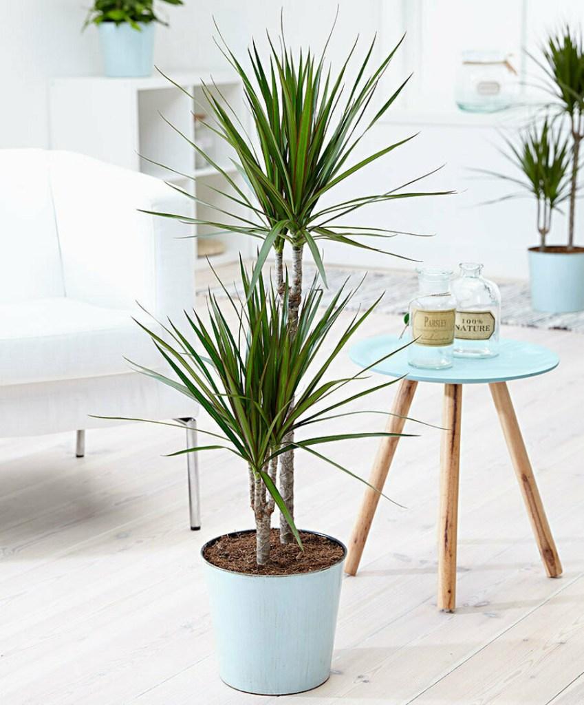 Vaso com dracena. Poltrona branca ao fundo e mesa pequena com tampo azul circular com garrafinhas de vidro.