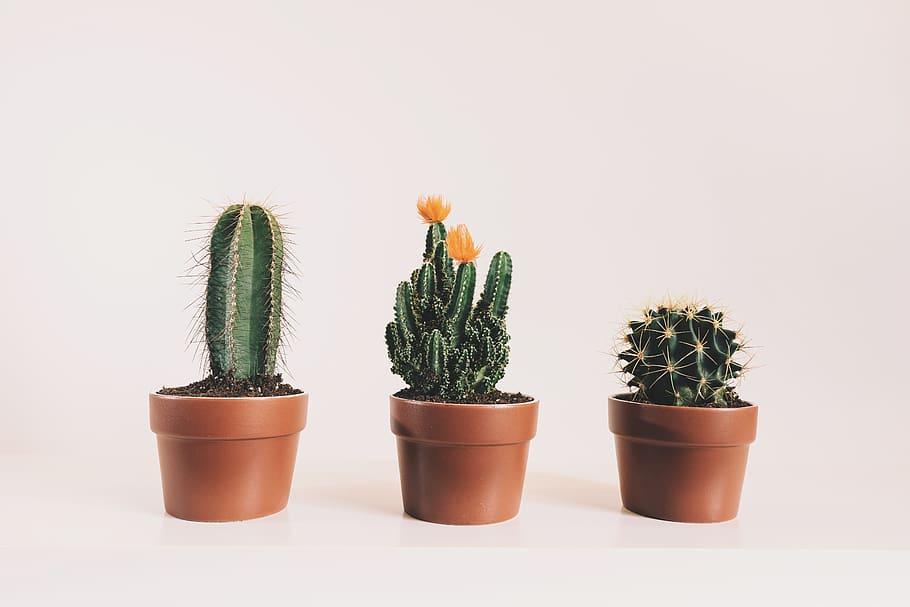 Três vasos pequenos com cactus e fundo rosa claro
