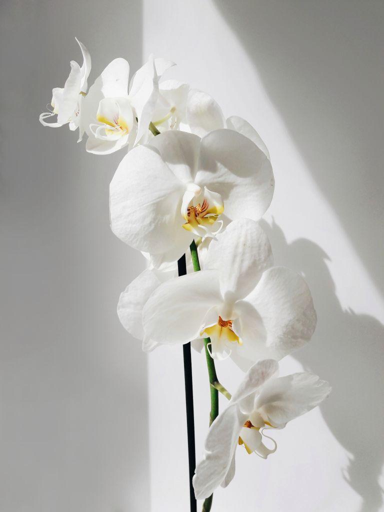 Flores de orquídea branca