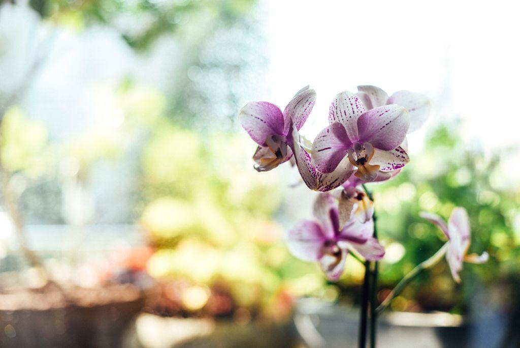 Orquídea branca e rosa com fundo desfocado
