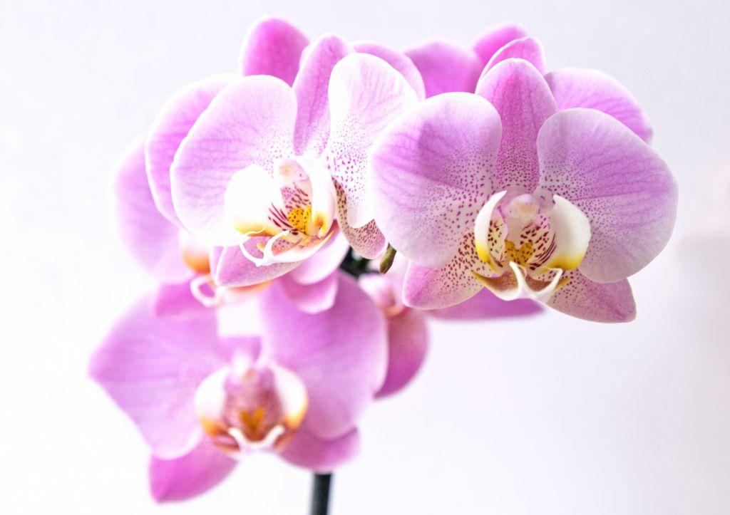 Flor de orquídea rosa com detalhe branco e amarelo no centro
