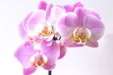 petra-kessler-regar-orquidea