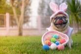 Bulldog com orelhas de coelho com cesta cheia de ovos de páscoa