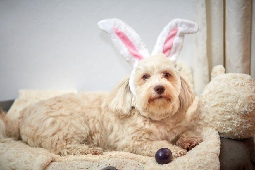 Cachorro deitado com orelhas de coelho com ovos de páscoa na caminha