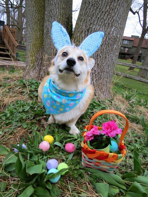 Corgi vom orelhas de coelho com ovos e cesta de páscoa