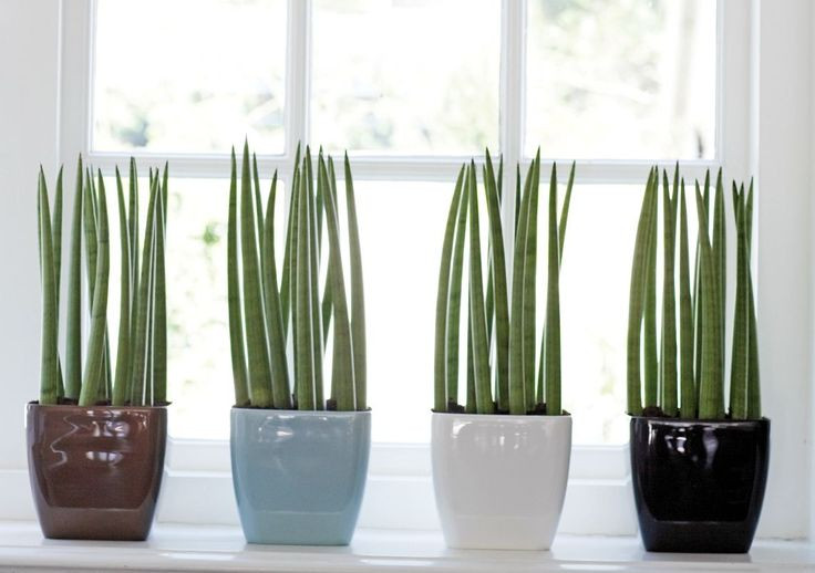 Vasos pequenos com Línguas de Sogra em parapeito de janela