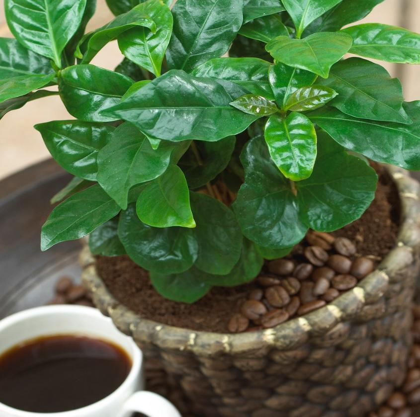 Planta de café com cachepot trançado. Xícara de café ao lado.