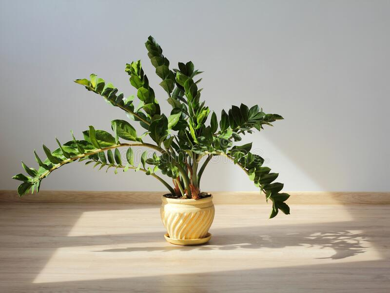 Zamioculcas zamiifolia em piso de madeira. Vaso amarelo