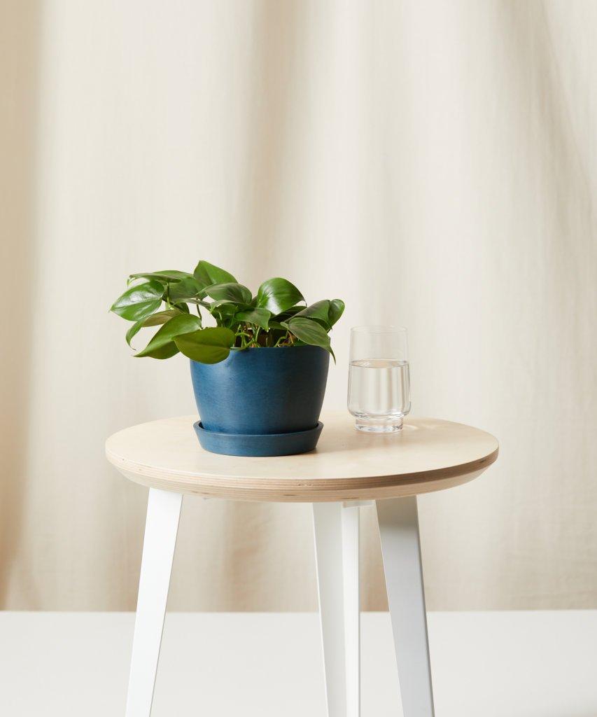 7-plantas-seguras-para-criancas-casa.com-2-philodendron-heartleaf-filodendro-brasil