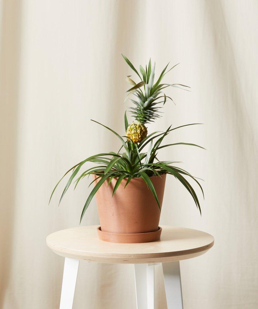 7-plantas-seguras-para-criancas-casa.com-3-ananas-comosus-abacaxi