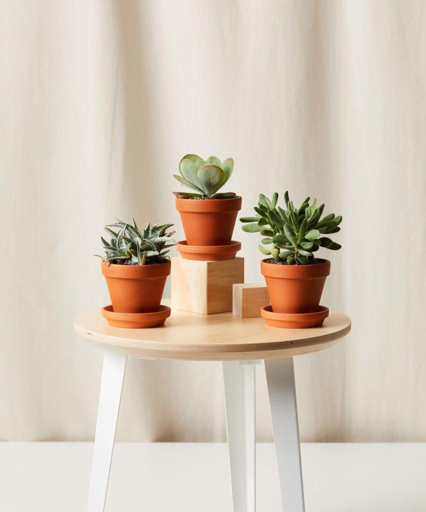 7-plantas-seguras-para-criancas-casa.com-5-suculentas