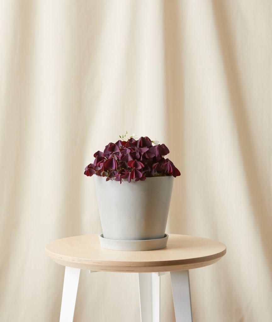 7-plantas-seguras-para-criancas-casa.com-6-oxalia-regnelli-atropurpura-trevo-roxo