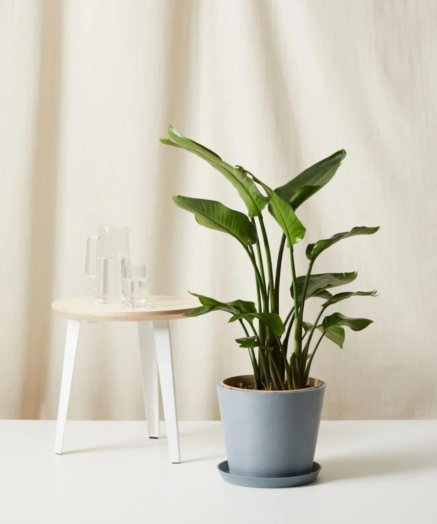 7-plantas-seguras-para-criancas-casa.com-8-strelitza-reginae-estrelicia