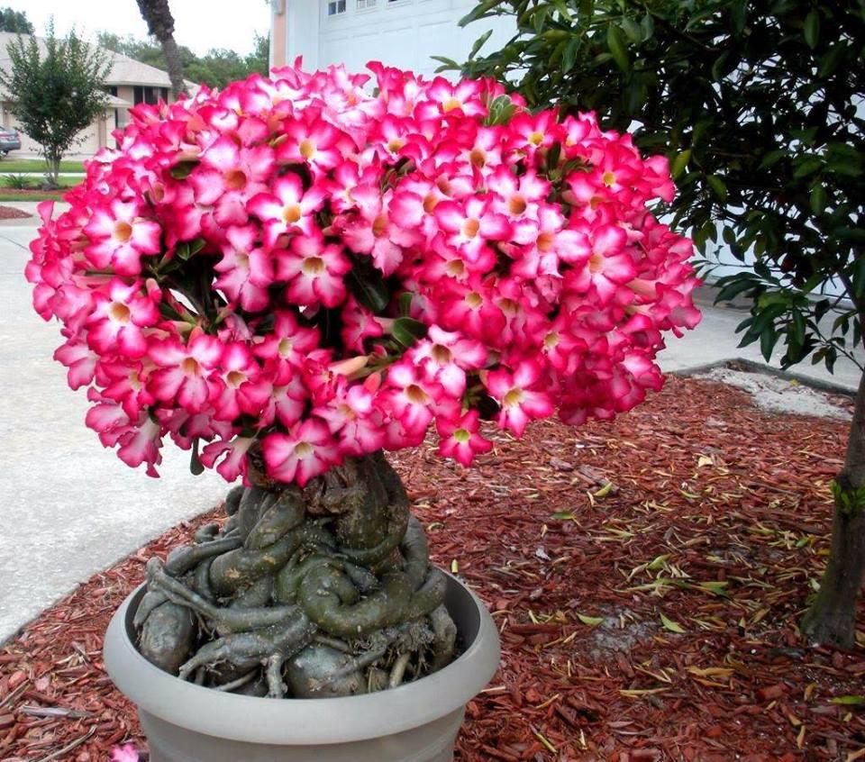 Grande rosa do deserto em jardim em vaso grande e cinza com grandes raízes. Árvore está coberta de flores.