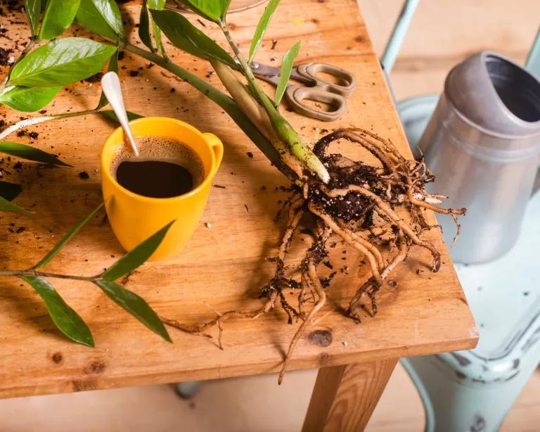 O quê Dá para regar plantas com café 03 Vision Art NEWS