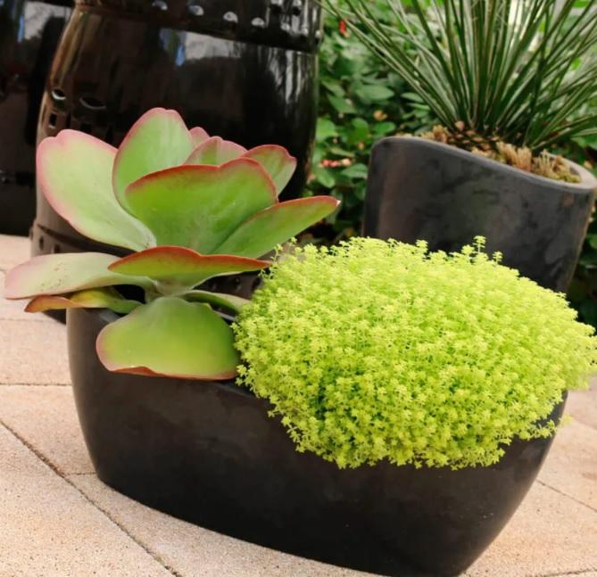 Vaso pequeno preto com duas suculentas dentro em mesa de madeira