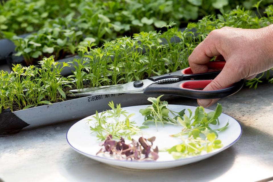 Microverdes em vaso cinza. Mão com tesoura colhendo microverdes e colocando-os em prato branco.