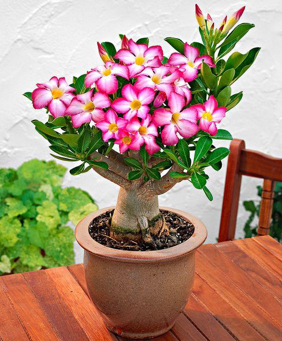 Vaso com flor do deserto com várias flores. Vaso marrom em mesa de madeira. Parede branca ao fundo