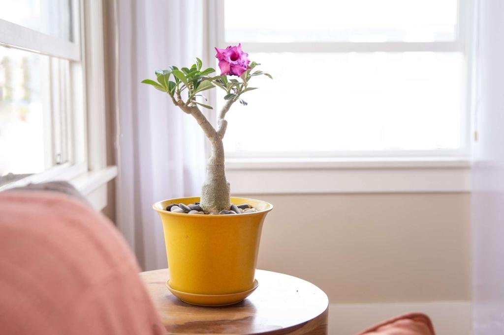 Rosa do deserto pequeno com uma flor em cima de mesa pequena dentro de casa.. Vaso Amarelo.