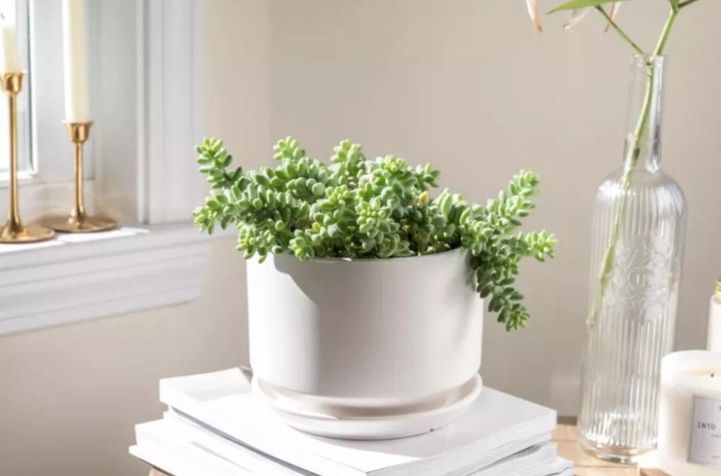 Suculenta rabo de burro em vaso branco sobre livros em mesa